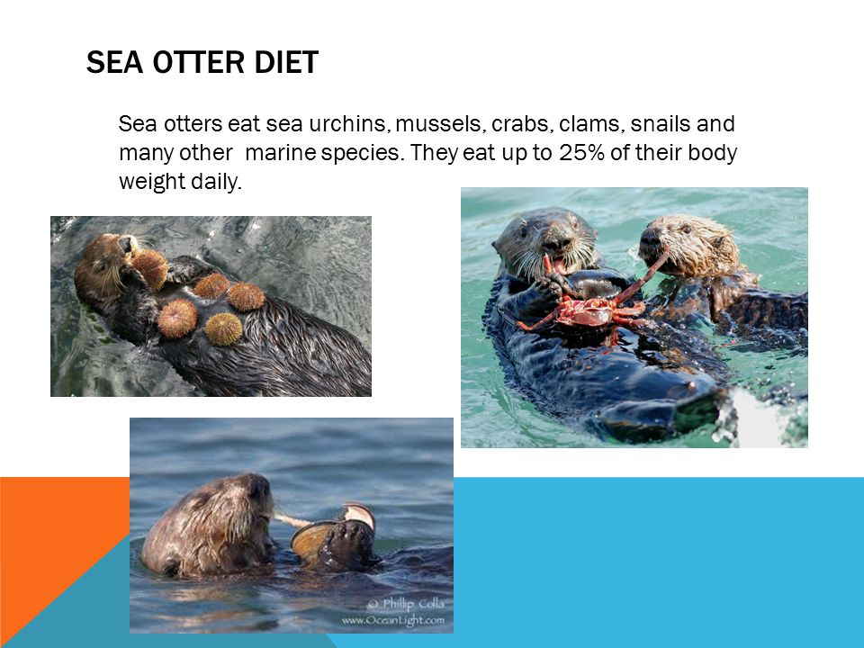 SEA OTTER DIET Sea otters eat sea urchins, mussels, crabs, clams, snails and many other marine species. They eat up to 25% of their body weight daily.