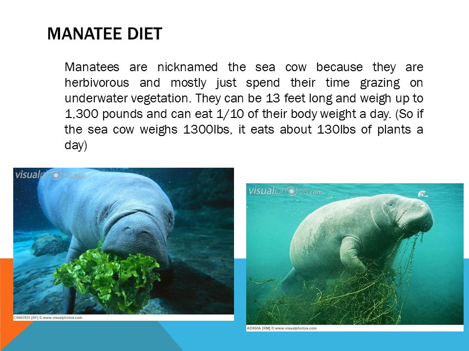 MANATEE DIET Manatees are nicknamed the sea cow because they are herbivorous and mostly just spend their time grazing on underwater vegetation. They c