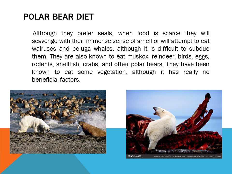 POLAR BEAR DIET Although they prefer seals, when food is scarce they will scavenge with their immense sense of smell or will attempt to eat walruses a