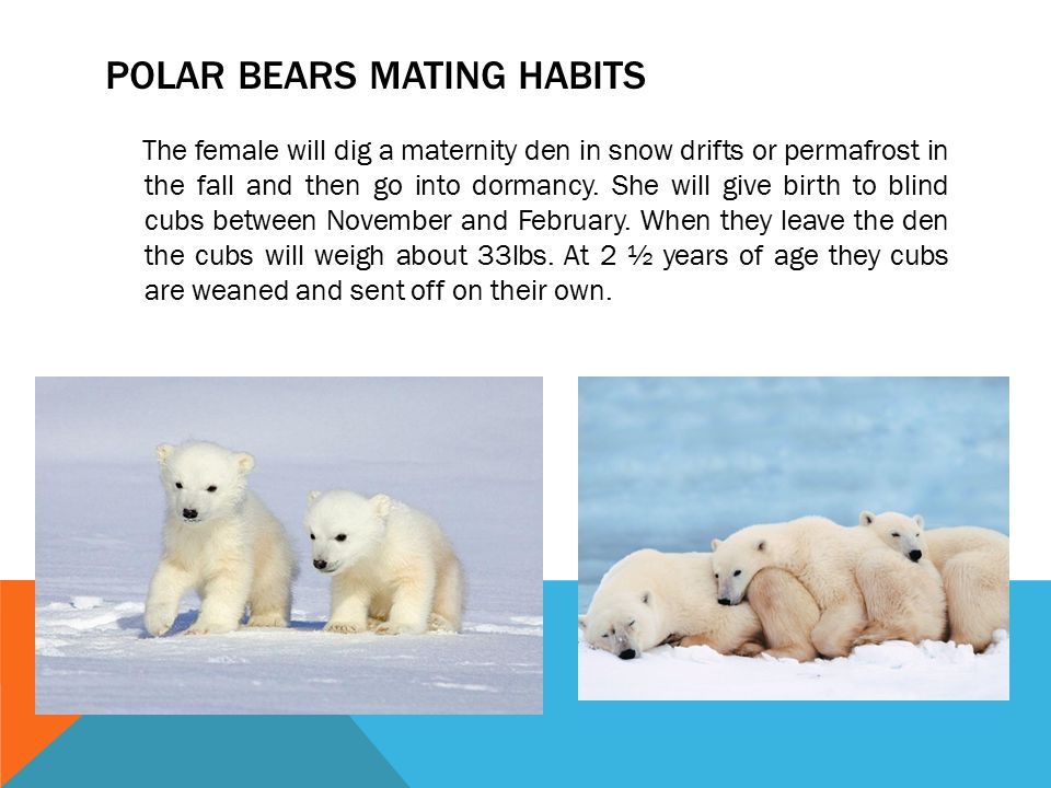 POLAR BEARS MATING HABITS The female will dig a maternity den in snow drifts or permafrost in the fall and then go into dormancy. She will give birth