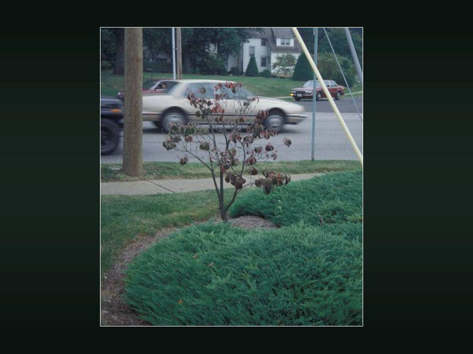 Mulch effects on tree growth