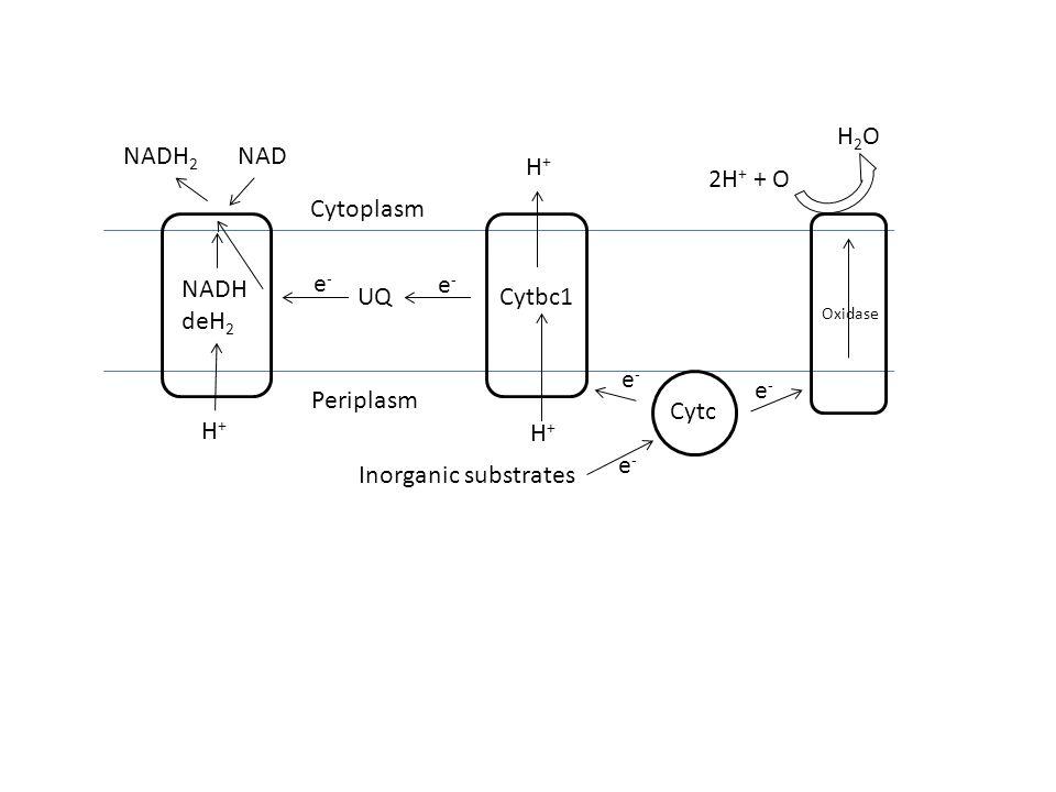 Oxidase H2OH2O 2H + + O Cytc Cytbc1 NADH deH 2 UQ H+H+ H+H+ H+H+ NADH 2 NAD Cytoplasm Periplasm Inorganic substrates e-e- e-e- e-e- e-e- e-e-
