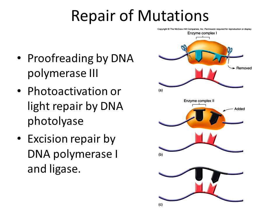 Repair of Mutations Proofreading by DNA polymerase III Photoactivation or light repair by DNA photolyase Excision repair by DNA polymerase I and ligase.
