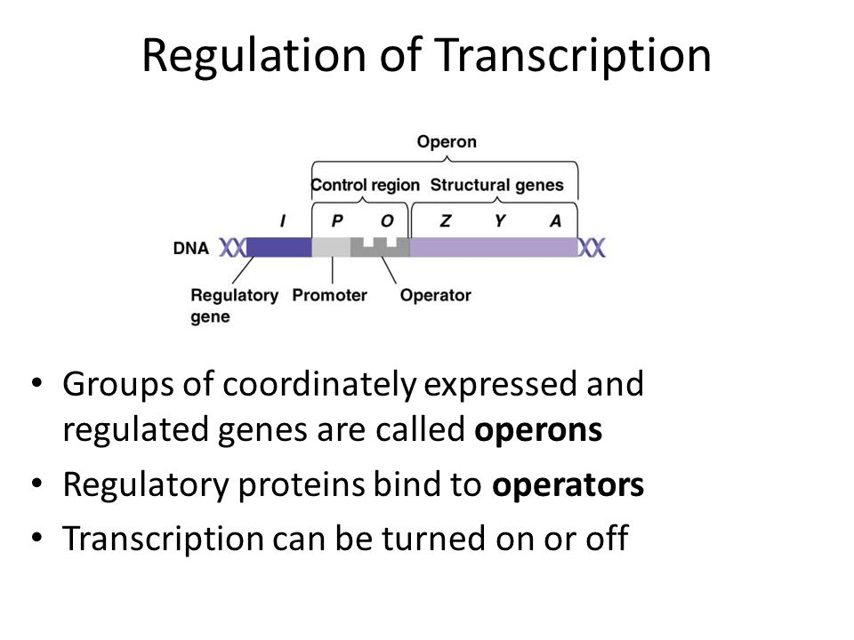 Inducible Operons: Lac operon a.In absence of the substrate (lactose) the operon is off.