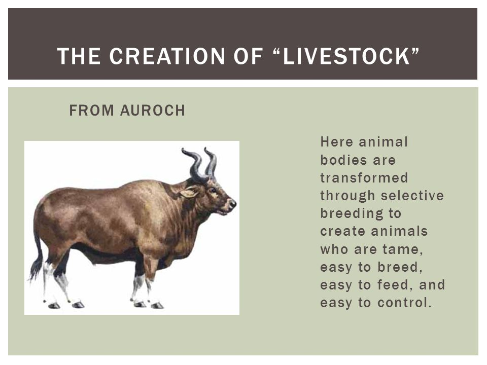 FROM AUROCH Here animal bodies are transformed through selective breeding to create animals who are tame, easy to breed, easy to feed, and easy to control.