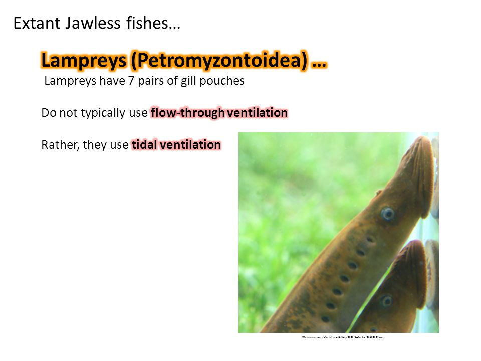 Extant Jawless fishes… http://www.rsc.org/chemistryworld/News/2005/September/03100501.asp