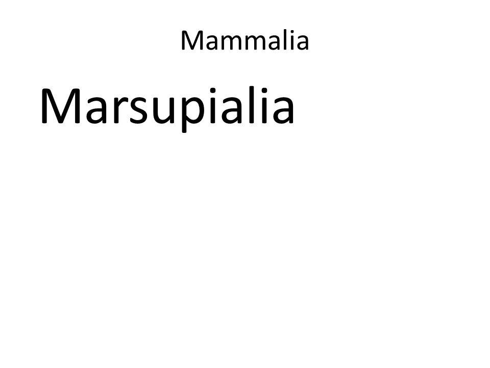 Mammalia Marsupialia