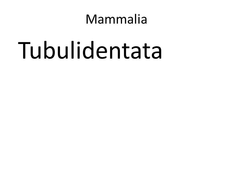 Mammalia Tubulidentata