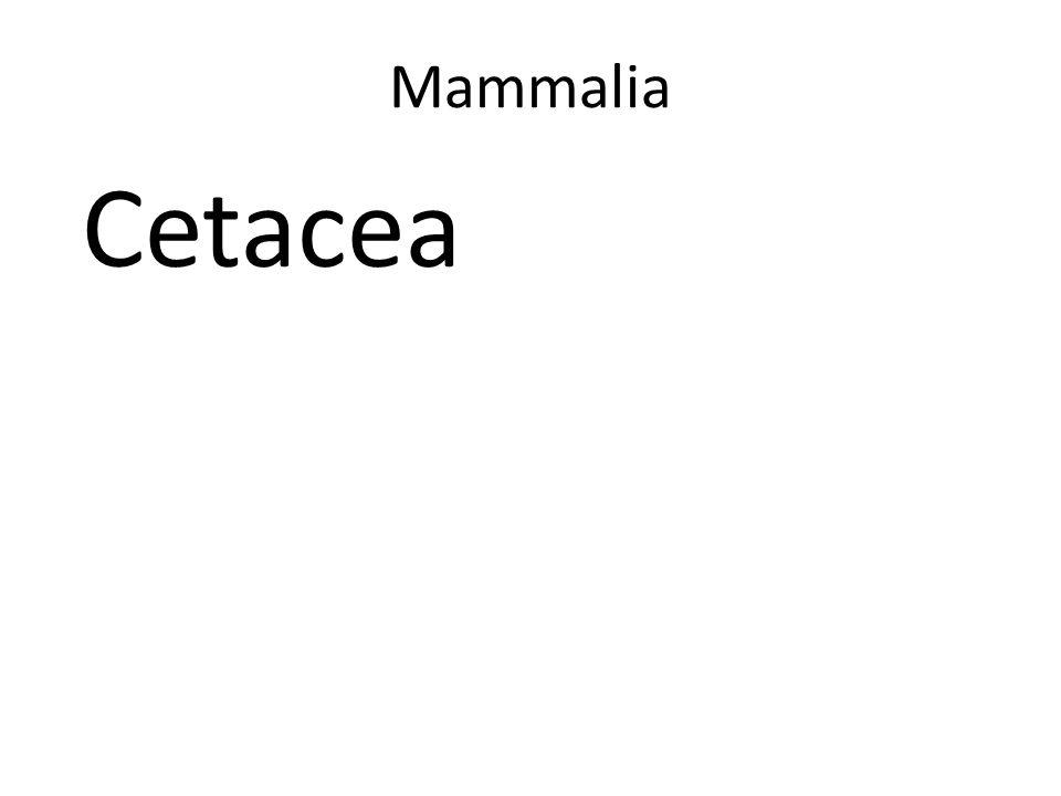 Mammalia Cetacea