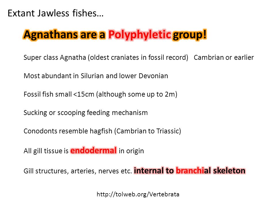 Extant Jawless fishes… http://tolweb.org/Vertebrata