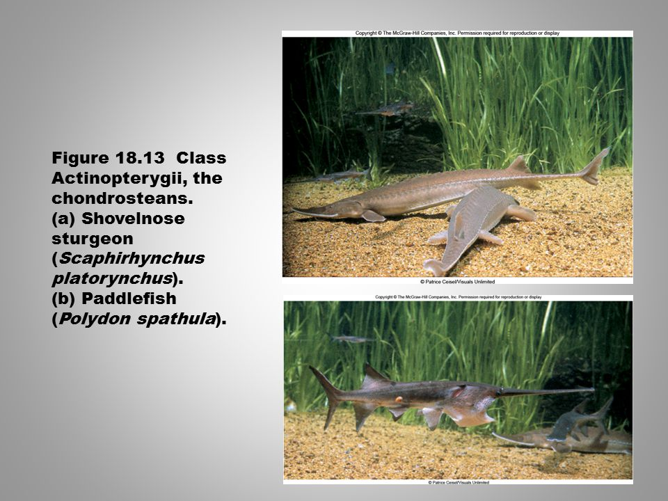 Figure 18.13 Class Actinopterygii, the chondrosteans. (a) Shovelnose sturgeon (Scaphirhynchus platorynchus). (b) Paddlefish (Polydon spathula).