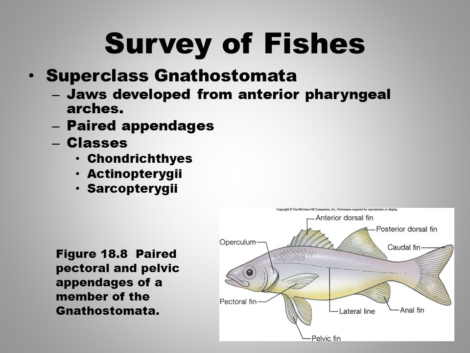 Survey of Fishes Superclass Gnathostomata – Jaws developed from anterior pharyngeal arches. – Paired appendages – Classes Chondrichthyes Actinopterygi