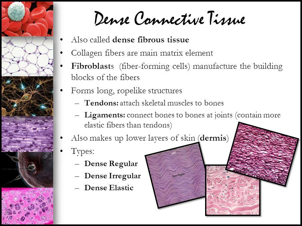 Dense Connective Tissue Also called dense fibrous tissue Collagen fibers are main matrix element Fibroblasts (fiber-forming cells) manufacture the bui