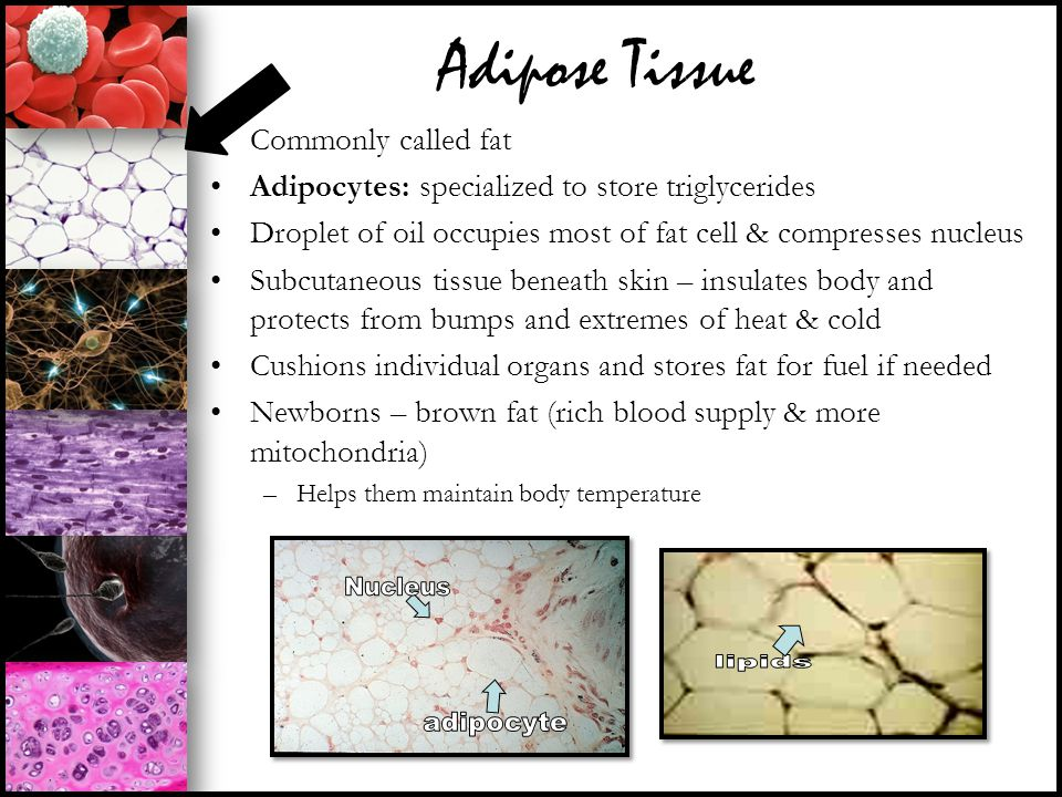 Adipose Tissue Commonly called fat Adipocytes: specialized to store triglycerides Droplet of oil occupies most of fat cell & compresses nucleus Subcut