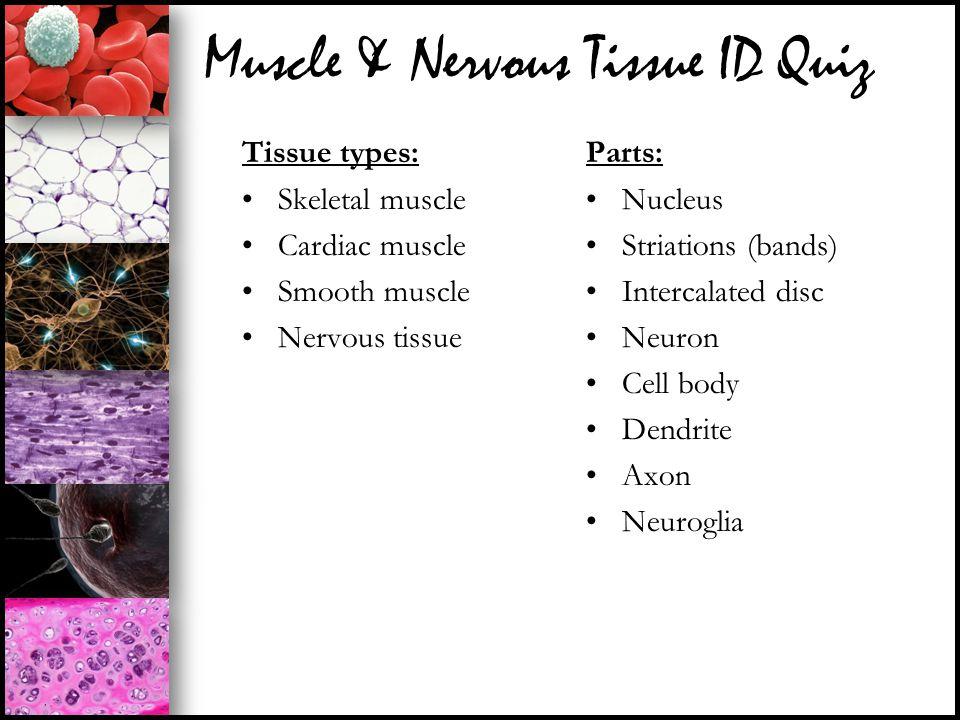 Muscle & Nervous Tissue ID Quiz Tissue types: Skeletal muscle Cardiac muscle Smooth muscle Nervous tissue Parts: Nucleus Striations (bands) Intercalat