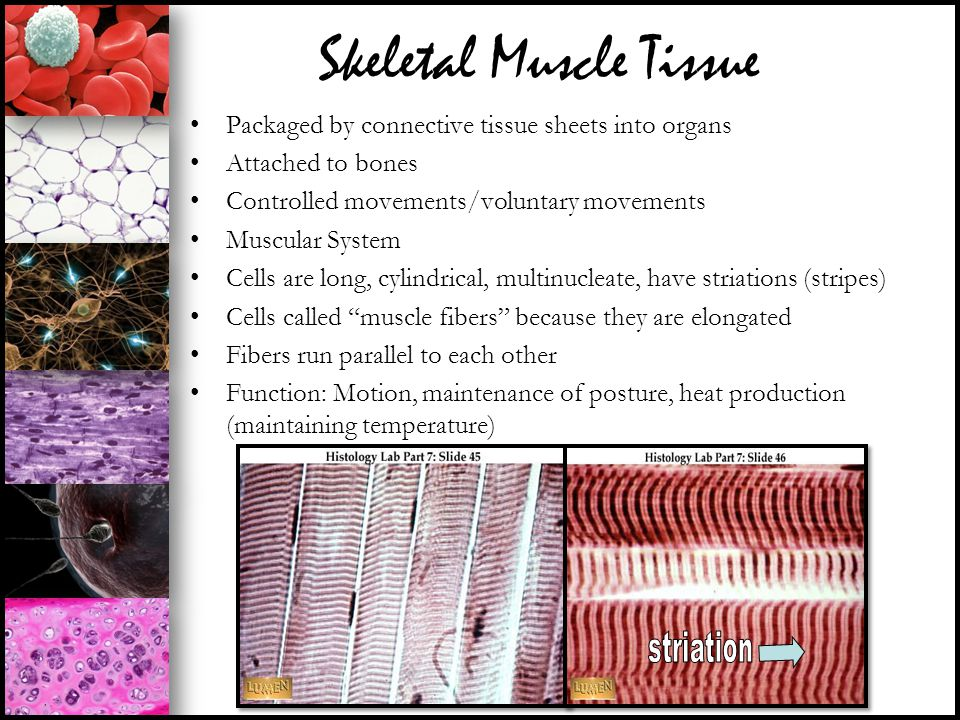 Skeletal Muscle Tissue Packaged by connective tissue sheets into organs Attached to bones Controlled movements/voluntary movements Muscular System Cel