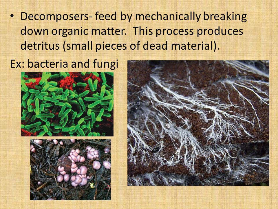 Decomposers- feed by mechanically breaking down organic matter.