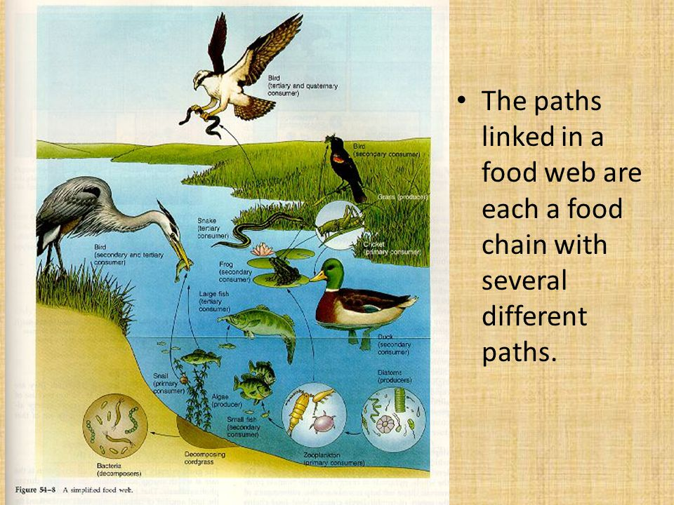 The paths linked in a food web are each a food chain with several different paths.