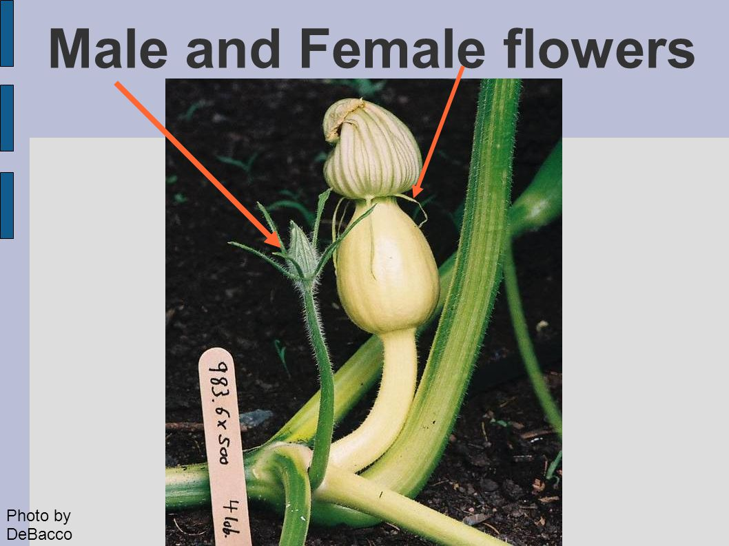 Male and Female flowers Photo by DeBacco