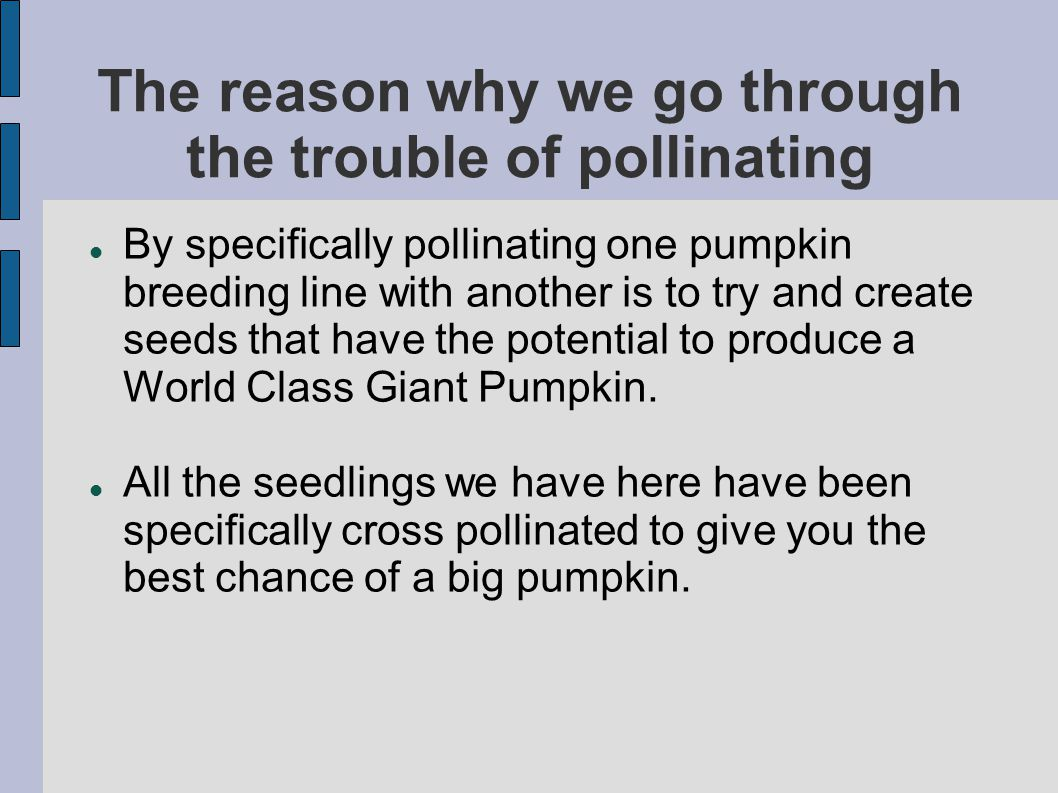 The reason why we go through the trouble of pollinating By specifically pollinating one pumpkin breeding line with another is to try and create seeds that have the potential to produce a World Class Giant Pumpkin.