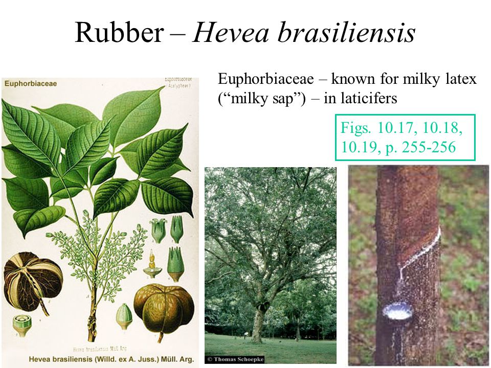 Rubber – Hevea brasiliensis Euphorbiaceae – known for milky latex ( milky sap ) – in laticifers Figs.