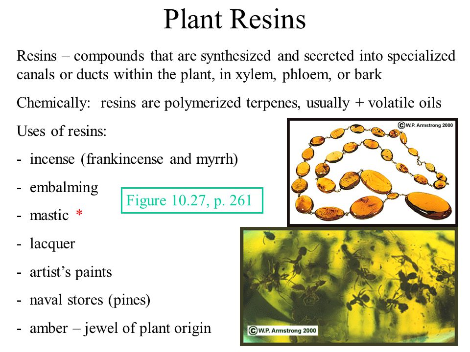 Plant Resins Resins – compounds that are synthesized and secreted into specialized canals or ducts within the plant, in xylem, phloem, or bark Chemically: resins are polymerized terpenes, usually + volatile oils Uses of resins: - incense (frankincense and myrrh) - embalming - mastic * - lacquer - artist's paints - naval stores (pines) - amber – jewel of plant origin Figure 10.27, p.