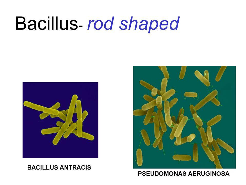 Bacillus - rod shaped PSEUDOMONAS AERUGINOSA BACILLUS ANTRACIS