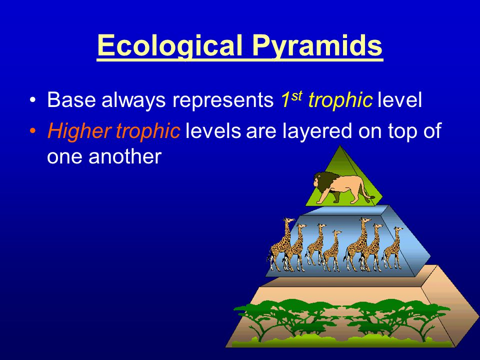 Ecological Pyramids Base always represents 1 st trophic level Higher trophic levels are layered on top of one another