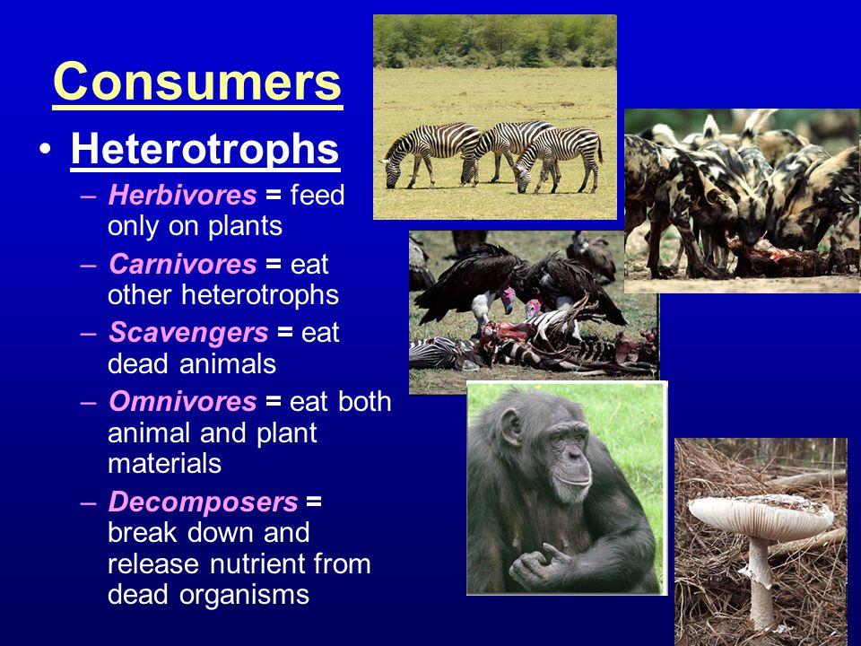 Consumers Heterotrophs –Herbivores = feed only on plants –Carnivores = eat other heterotrophs –Scavengers = eat dead animals –Omnivores = eat both ani