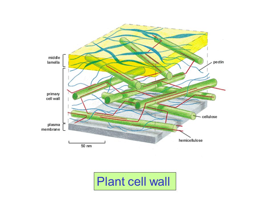 The Gram positive cell wall