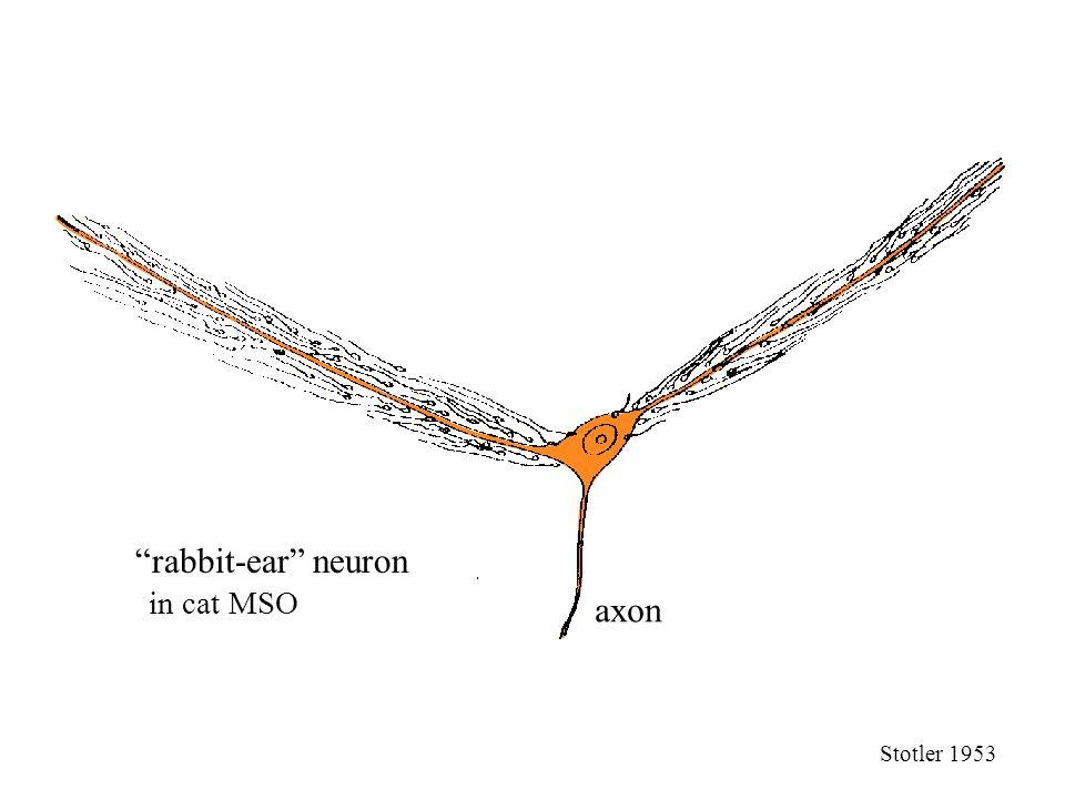axon rabbit-ear neuron Stotler 1953 in cat MSO