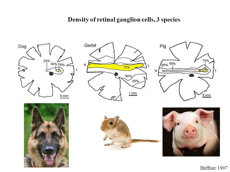 Density of retinal ganglion cells, 3 species Heffner 1997