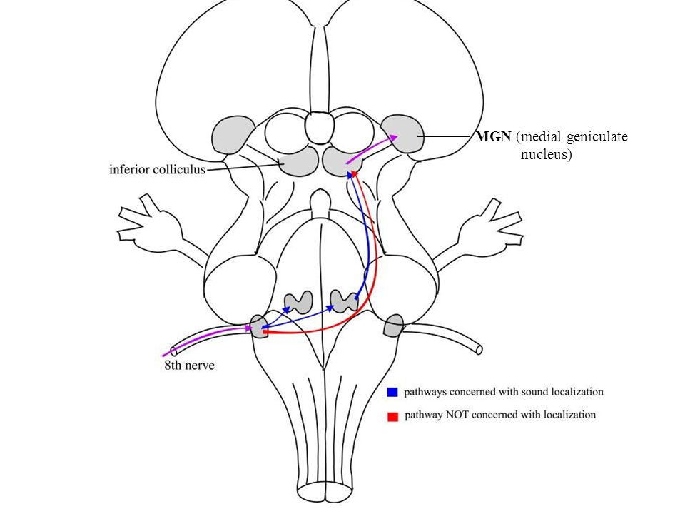 MGN (medial geniculate nucleus)