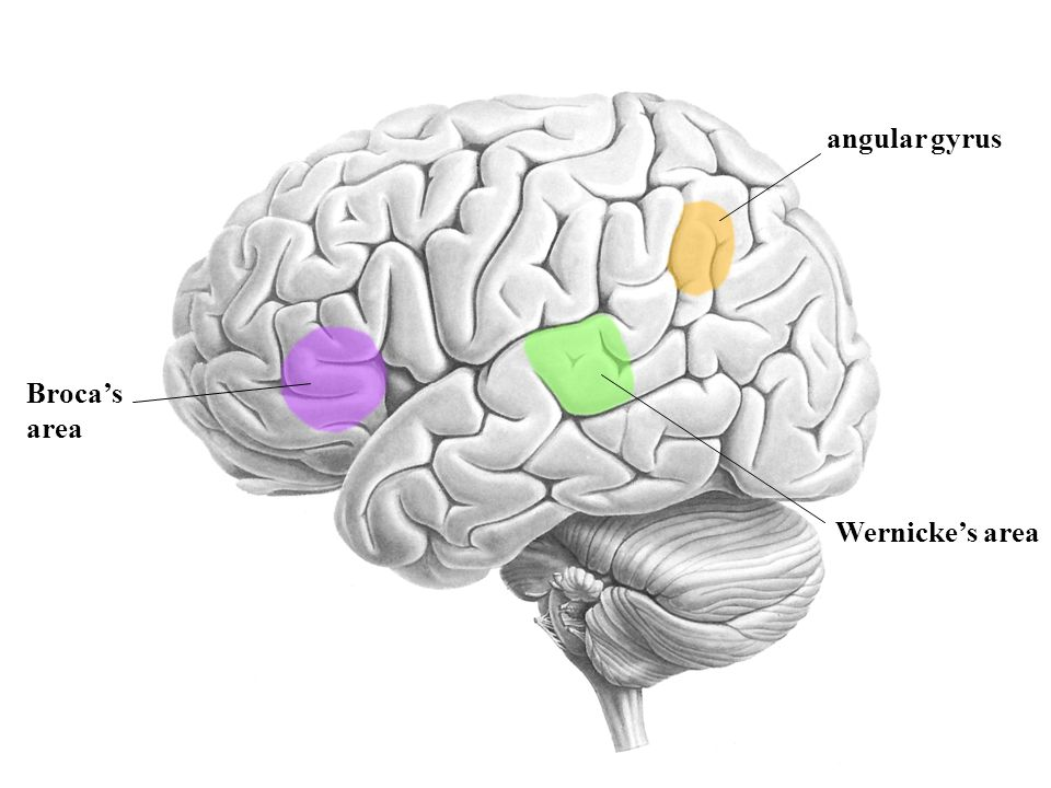 Wernicke's area Broca's area angular gyrus