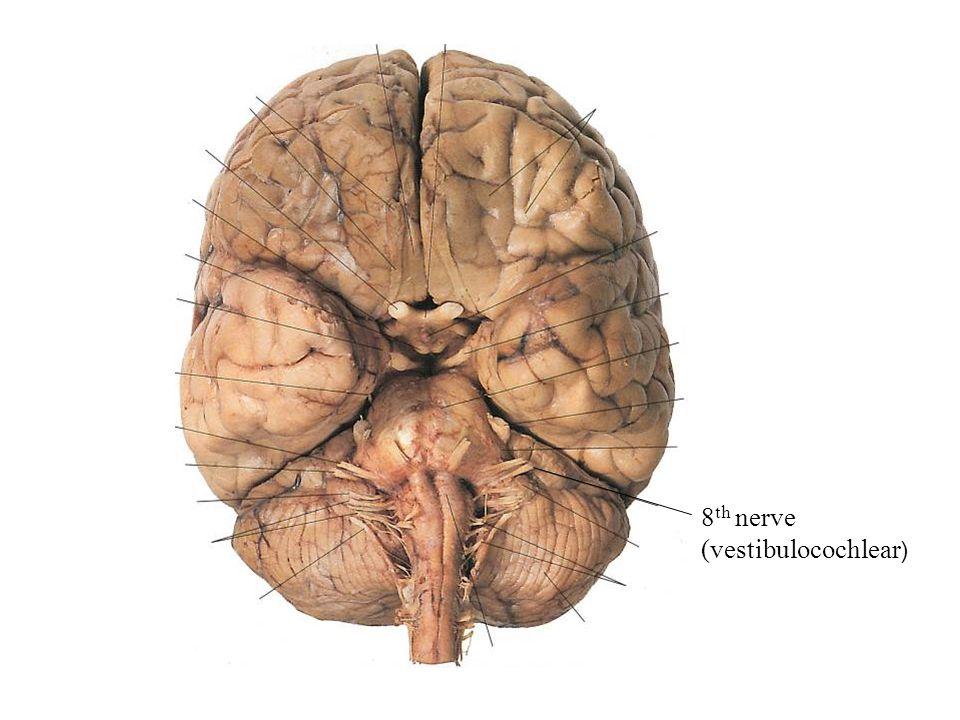 8 th nerve (vestibulocochlear )
