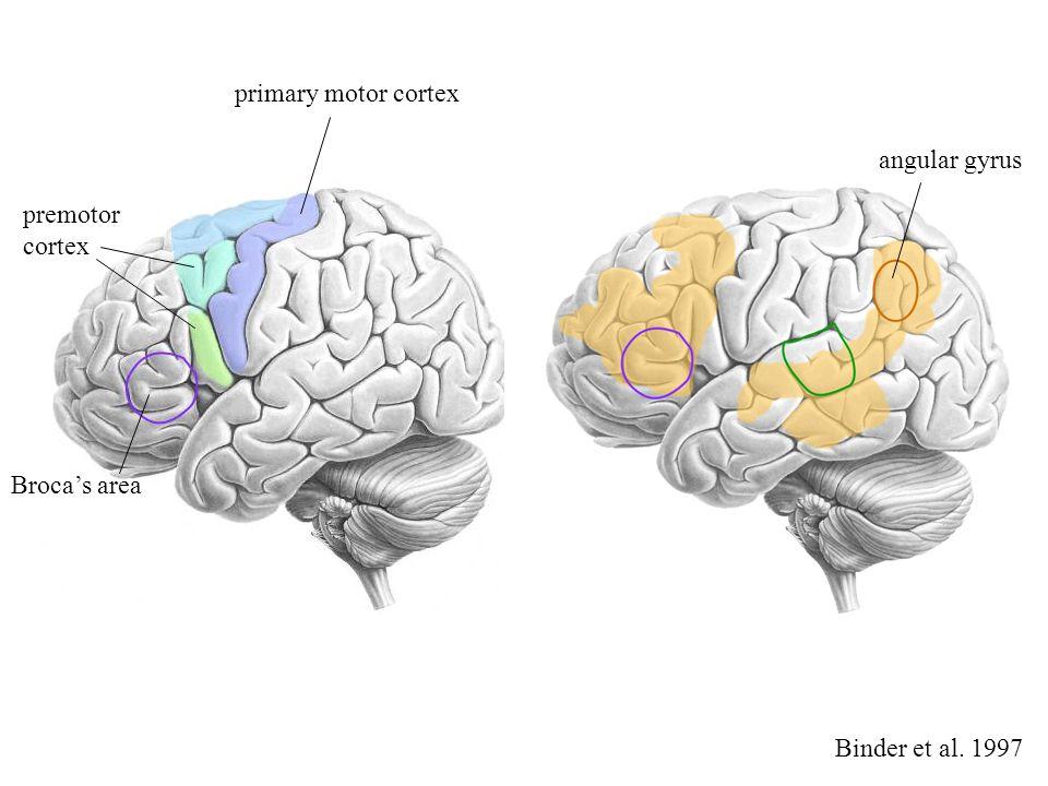 premotor cortex angular gyrus primary motor cortex Broca's area Binder et al. 1997