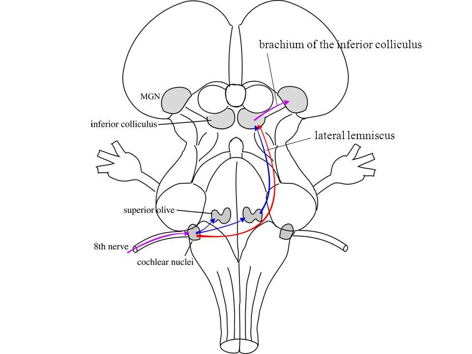 brachium of the inferior colliculus lateral lemniscus