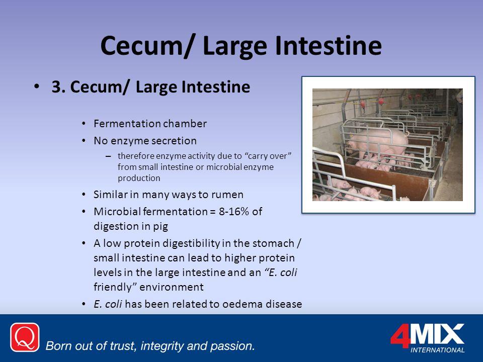 Cecum/ Large Intestine 3.