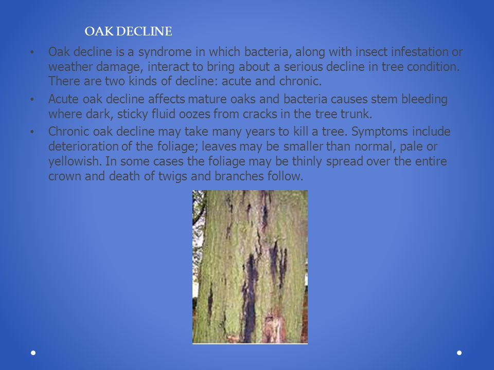 Oak decline is a syndrome in which bacteria, along with insect infestation or weather damage, interact to bring about a serious decline in tree condit