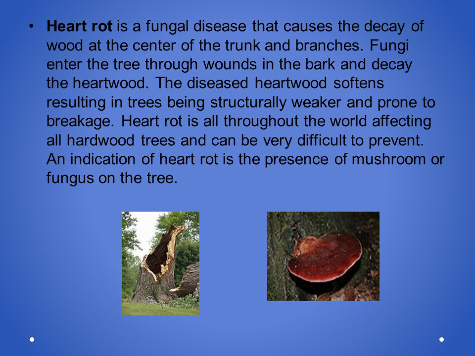 Heart rot is a fungal disease that causes the decay of wood at the center of the trunk and branches. Fungi enter the tree through wounds in the bark a