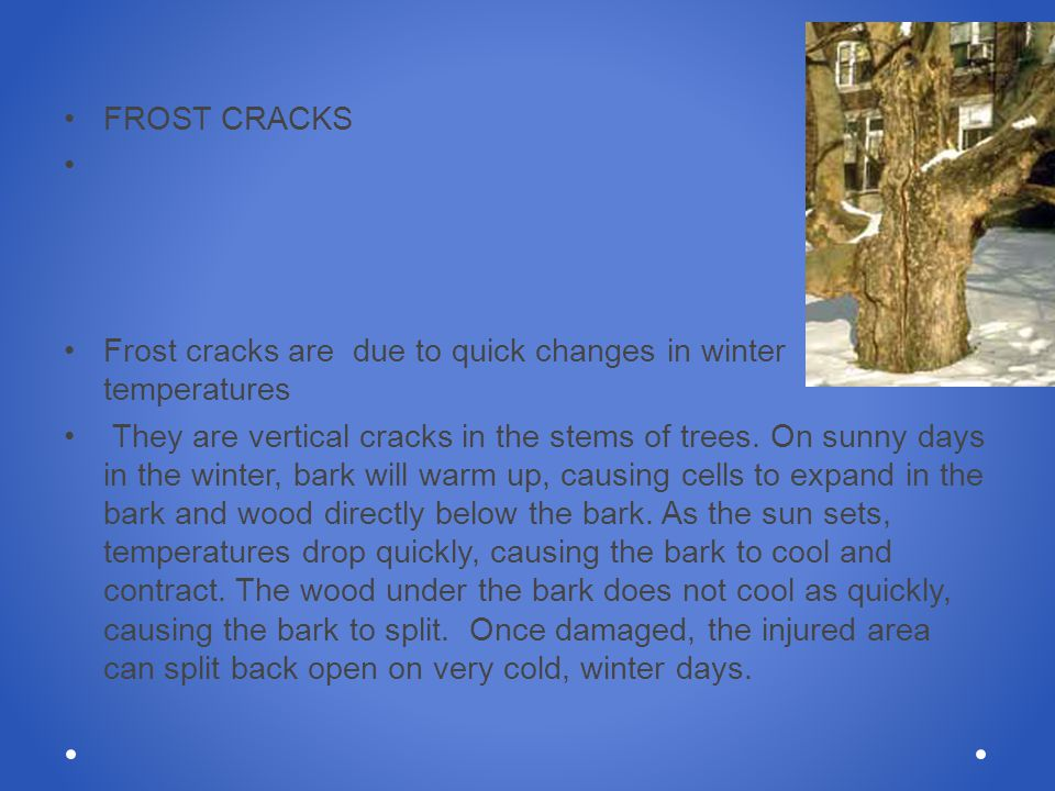 FROST CRACKS Frost cracks are due to quick changes in winter temperatures They are vertical cracks in the stems of trees. On sunny days in the winter,