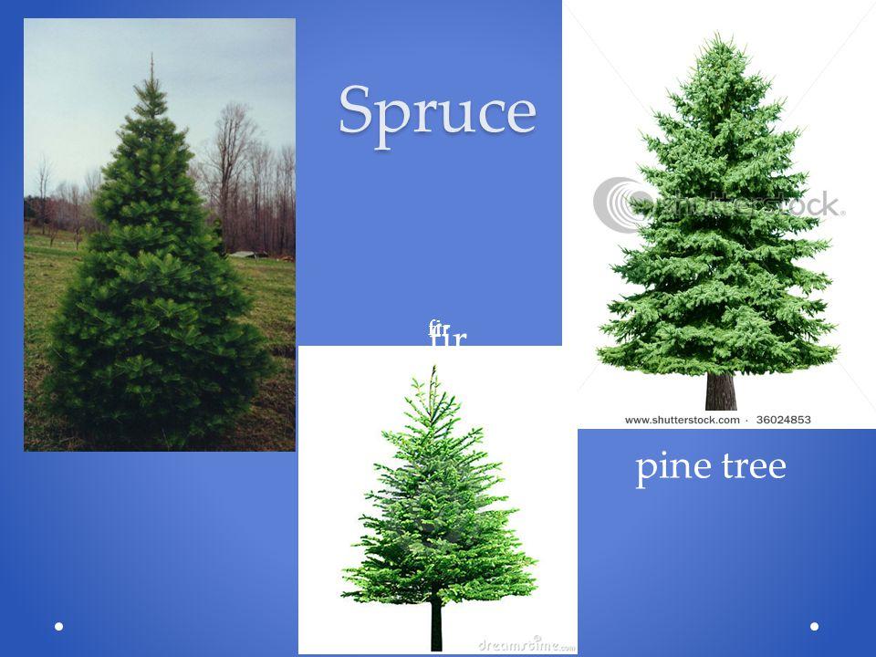 Spruce pine tree fir