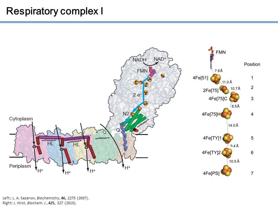 Respiratory complex I Left:. L. A. Sazanov, Biochemistry, 46, 2275 (2007).