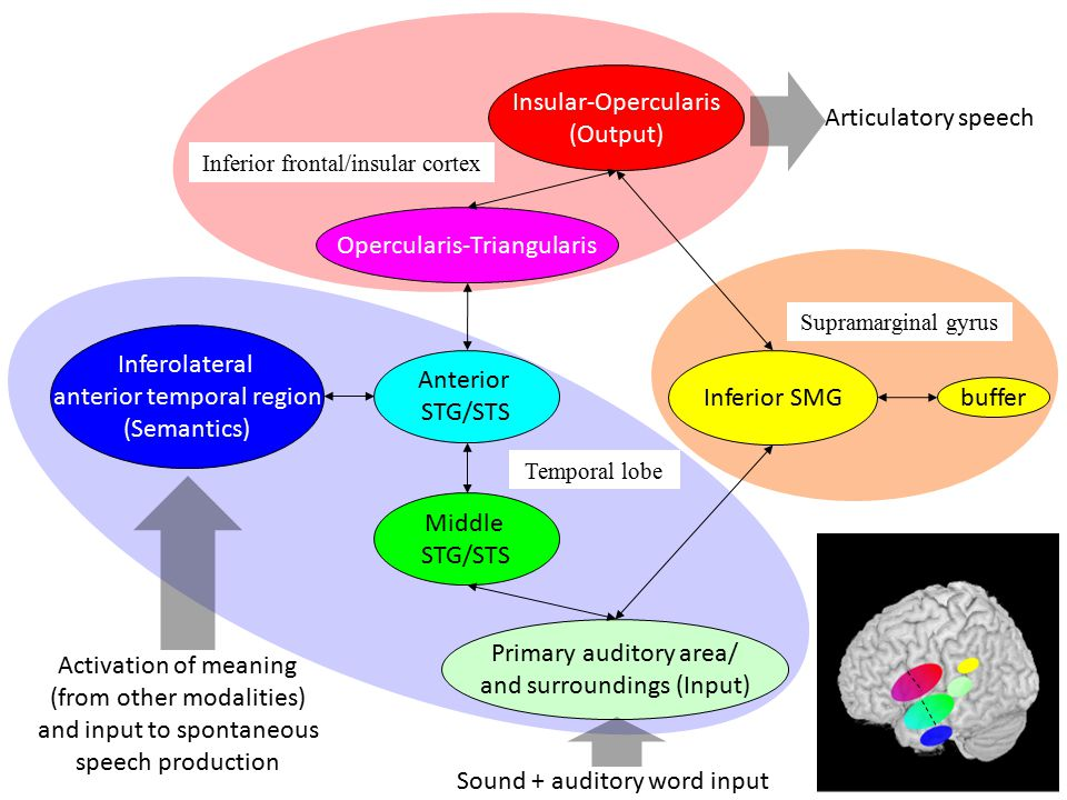 Inferior frontal/insular cortex Inferior SMG buffer Supramarginal gyrus Primary auditory area/ and surroundings (Input) Inferolateral anterior temporal region (Semantics) Temporal lobe Insular-Opercularis (Output) Opercularis-Triangularis Anterior STG/STS Middle STG/STS Sound + auditory word input Activation of meaning (from other modalities) and input to spontaneous speech production 9 Articulatory speech
