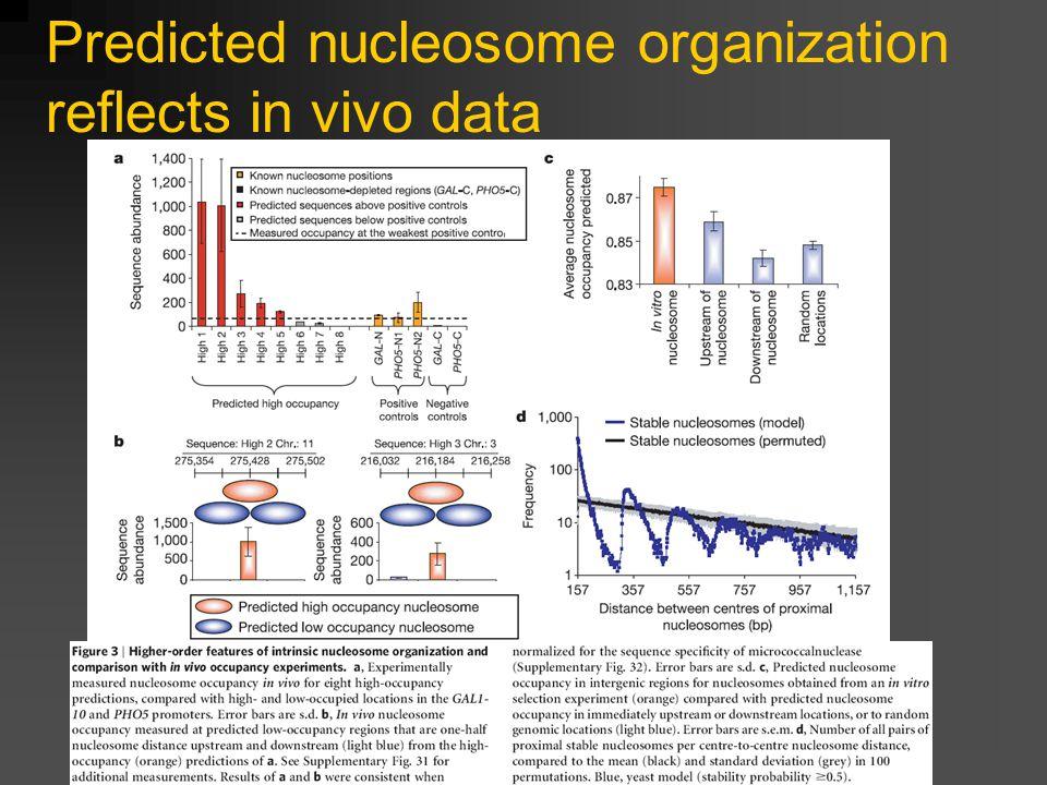 Predicted nucleosome organization reflects in vivo data