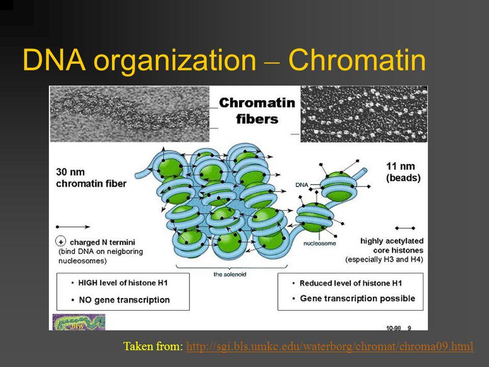 DNA organization – Chromatin Taken from: http://sgi.bls.umkc.edu/waterborg/chromat/chroma09.htmlhttp://sgi.bls.umkc.edu/waterborg/chromat/chroma09.html