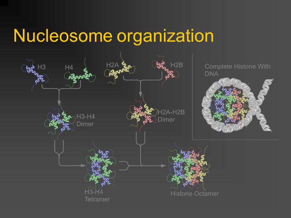 Nucleosome organization