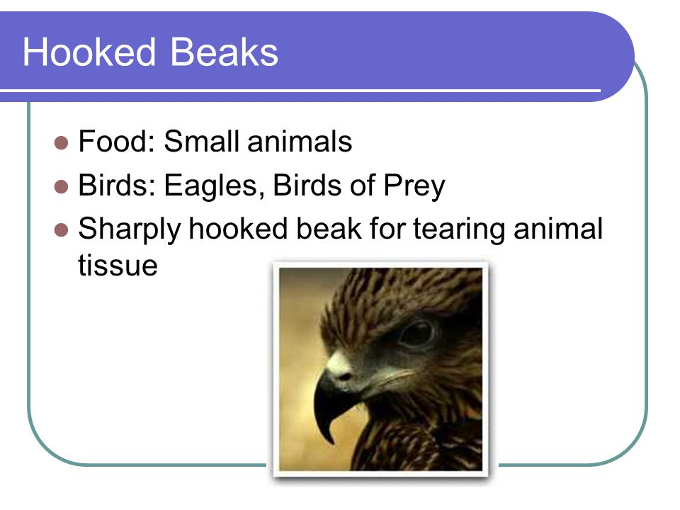 Hooked Beaks Food: Small animals Birds: Eagles, Birds of Prey Sharply hooked beak for tearing animal tissue
