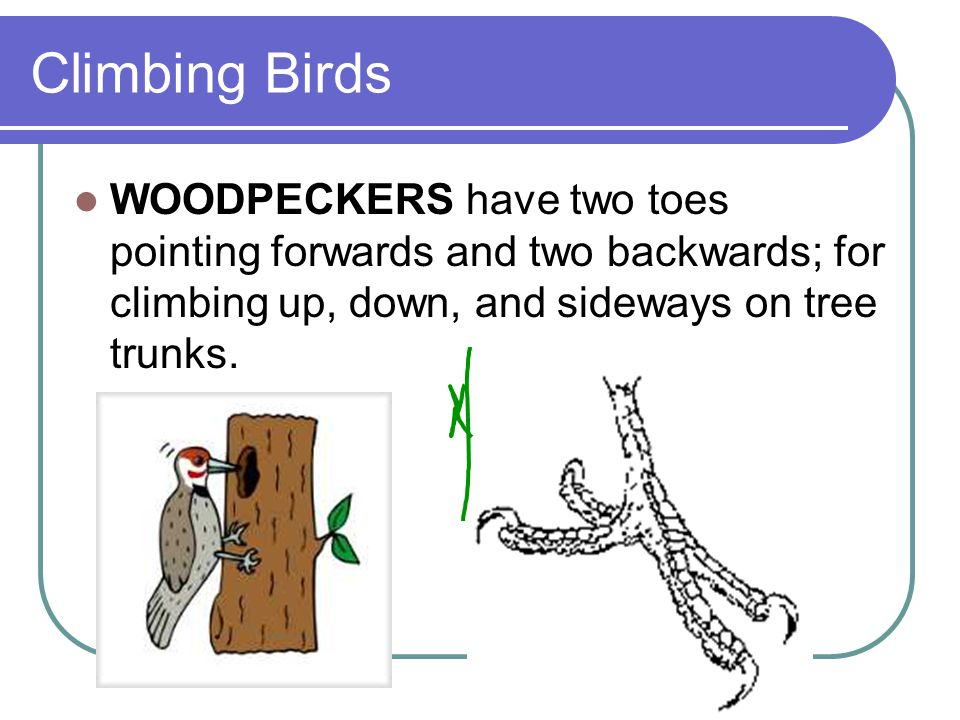 Climbing Birds WOODPECKERS have two toes pointing forwards and two backwards; for climbing up, down, and sideways on tree trunks.