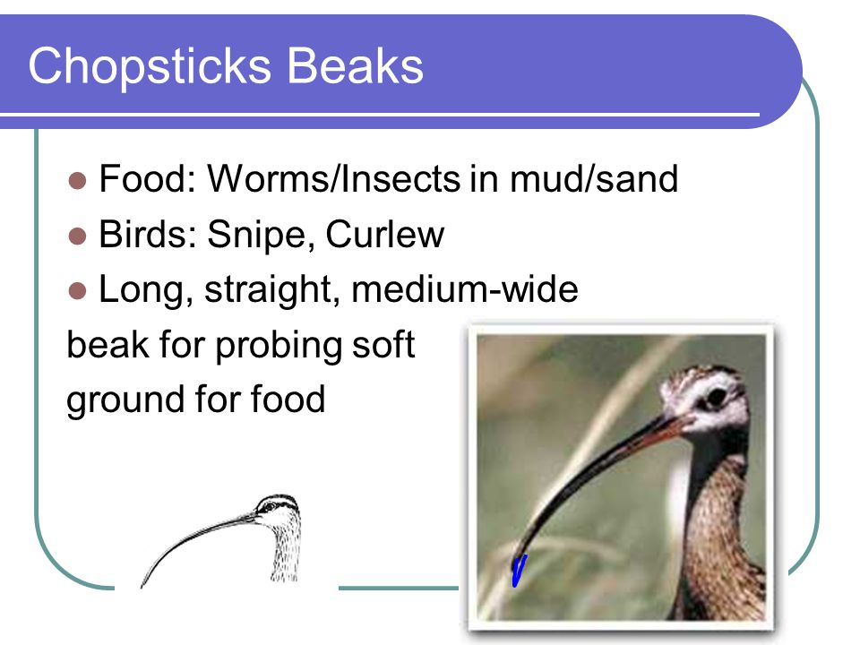 Chopsticks Beaks Food: Worms/Insects in mud/sand Birds: Snipe, Curlew Long, straight, medium-wide beak for probing soft ground for food